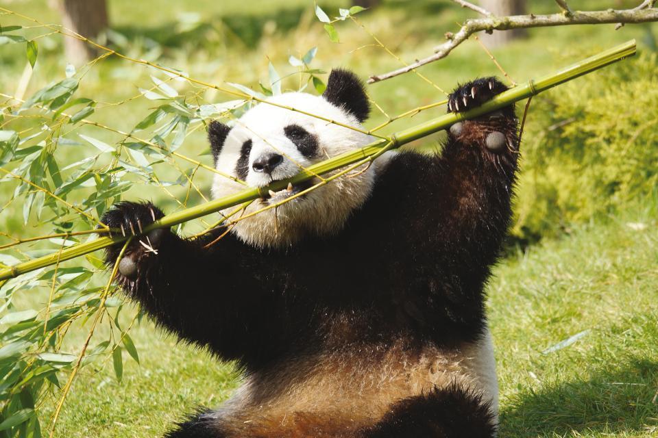 Zoo parc de Beauval , Pandas roux , France