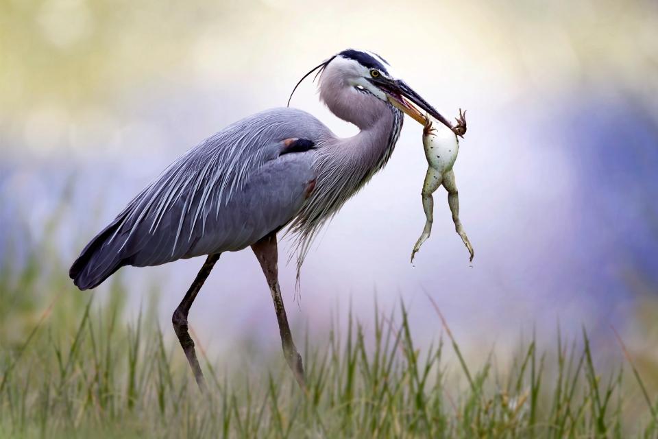 La faune et la flore, animal, héron, faune, oiseau, somme, baie, picardie, france, europe, échassier