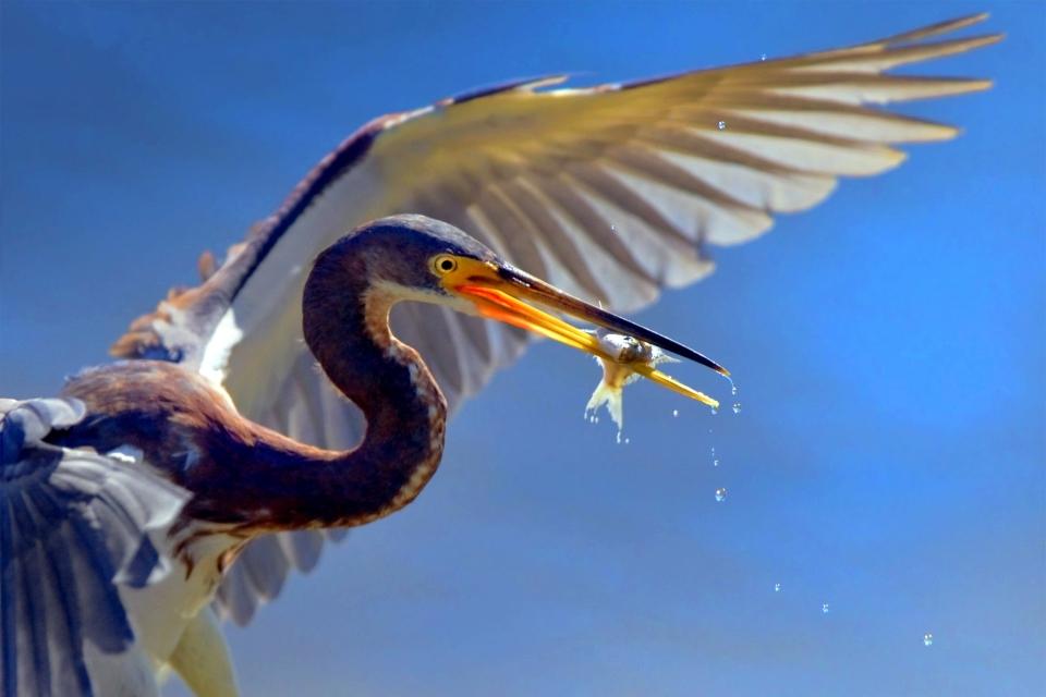 La faune et la flore, animal, héron, faune, oiseau, somme, baie, picardie, france, europe