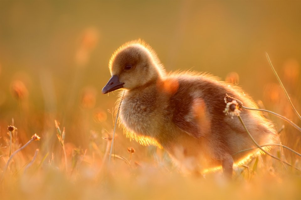 La faune et la flore, animal, oie, faune, oiseau, somme, baie, picardie, france, europe, juvénile