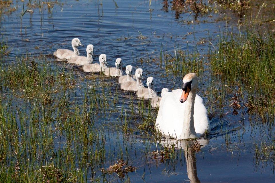 La faune et la flore, parc, Marquenterre, picardie, france, europe, somme, baie, oiseau, animal, cygne