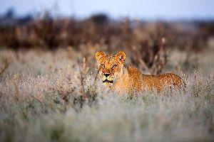 Les Big Five , La lionne sud-africaine , Afrique du Sud