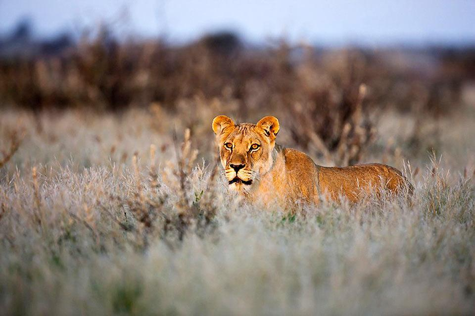 I Big Five , La leonessa sudafricana , Sudafrica