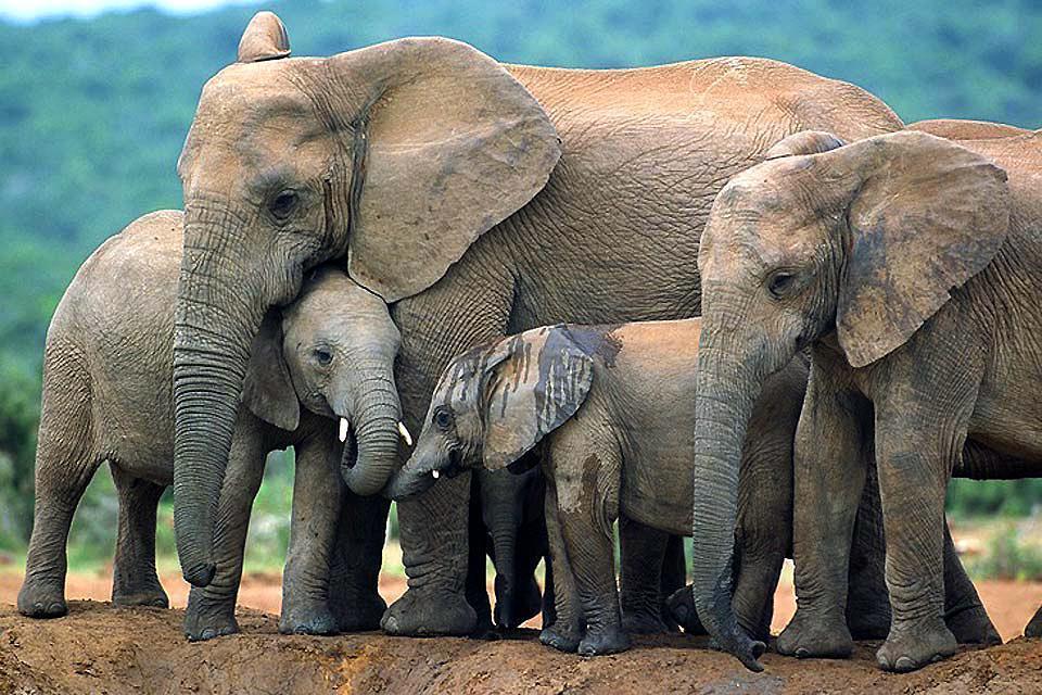 I Big Five , L'elefante , Sudafrica