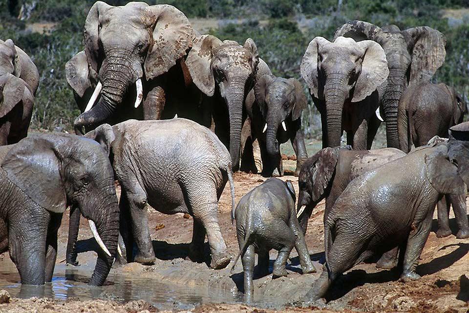 I Big Five , L'elefante nella savana , Sudafrica
