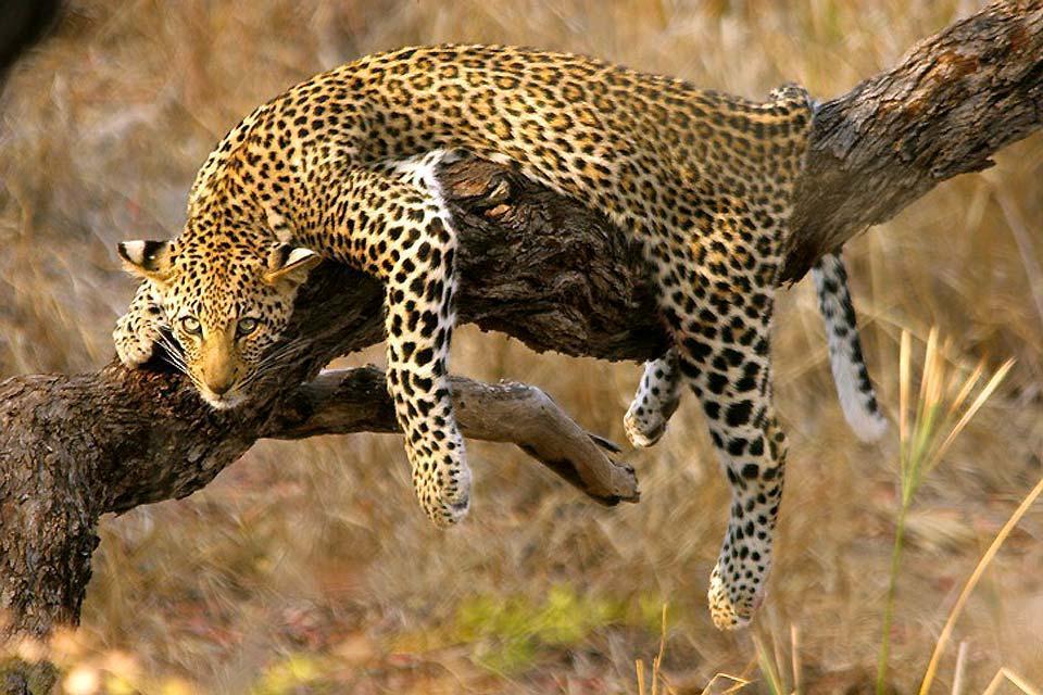 I Big Five , Il leopardo , Sudafrica
