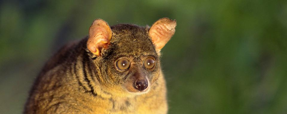 Les bush babies - Zanzibar - Tanzanie