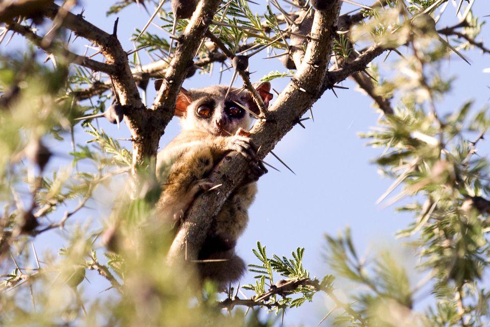 La faune, galago, bushbaby, primate, animal, faune, mammifère, tanzanie, zanzibar, afrique