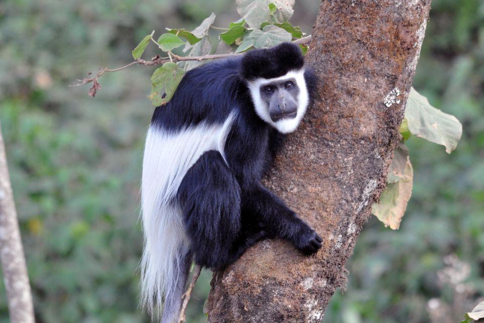 La faune, Tanzanie, zanzibar, afrique, colobe, primate, singe, black tail, animal, faune, nature, foret, janzani, noir