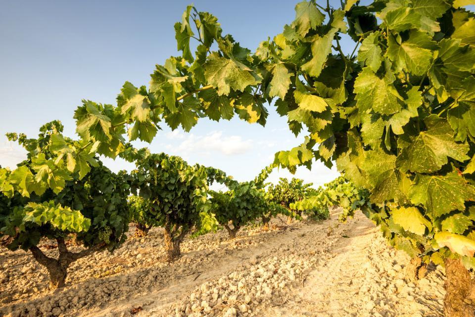 Der Weinanbau , Spanien