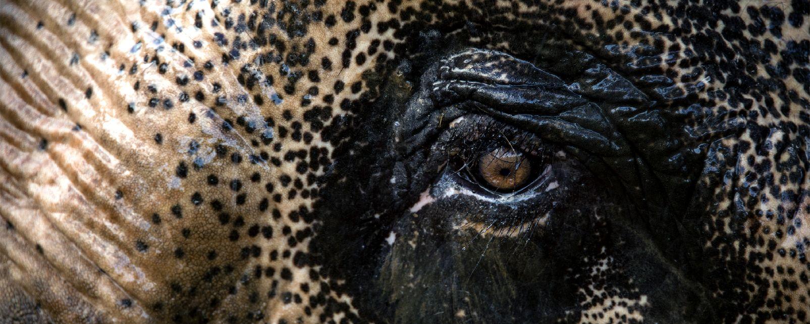 The fauna , Asian elephant, Cambodia , Cambodia