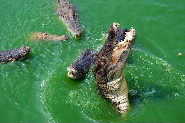 "National park of Preah Sihanouk ""Ream"" , The crocodiles of ""Ream"" , Cambodia"