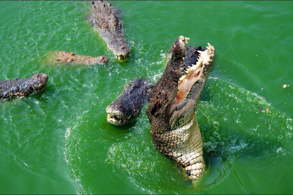 "Parc national de Preah Sihanouk ""Ream"" , Les crocodiles de ""Ream"" , Cambodge"