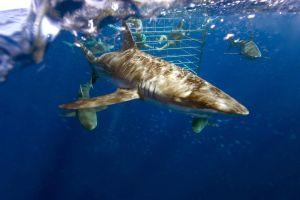 La faune, requin, poisson, cage, observation, plongeur, prédateur, faune, animal, marine