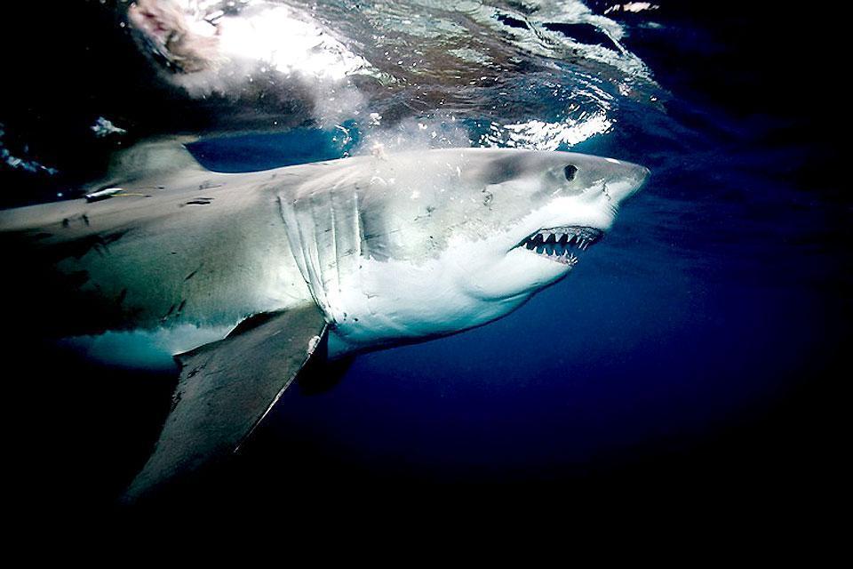 La gabbia degli squali , Il grande squalo bianco , Sudafrica