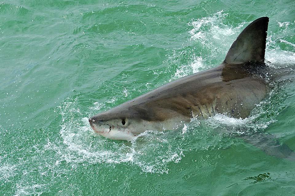 La gabbia degli squali , Cattività degli squali , Sudafrica