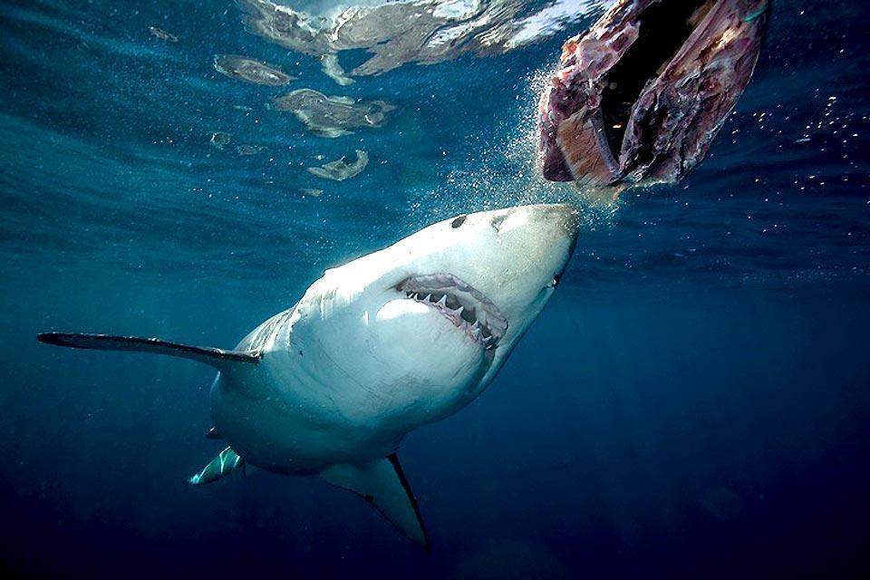 La gabbia degli squali , I nasi del mare , Sudafrica