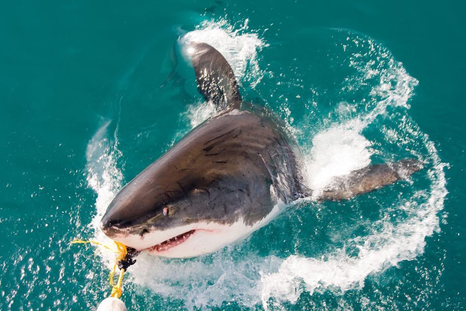 La gabbia degli squali , La pesca allo squalo , Sudafrica