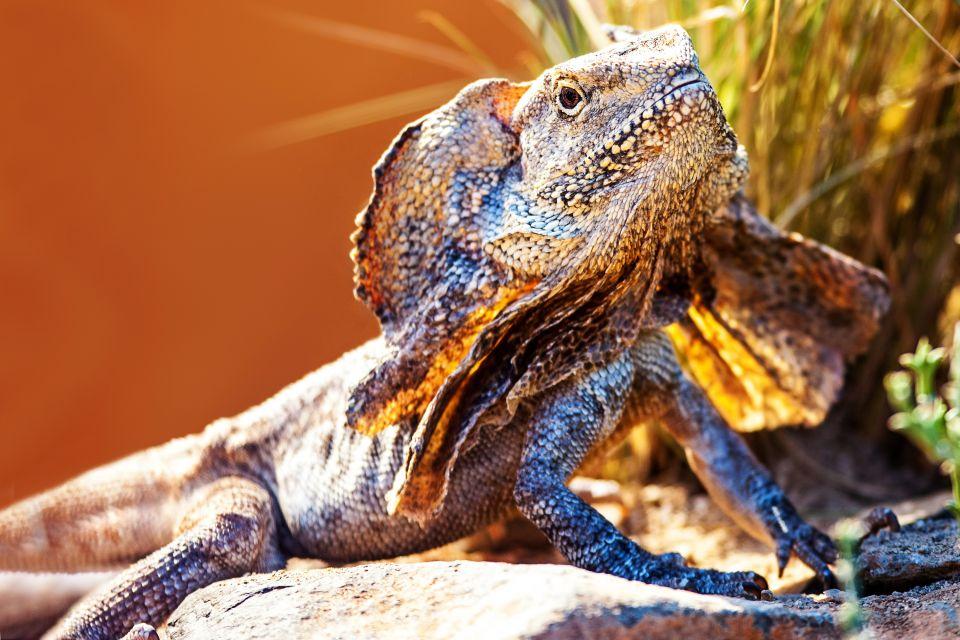 Le dragon à jabot, Daintree National Park, parcs, daintree, Australie, océanie, forêt tropicale, flore, végétation, unesco, patrimoine de l'Humanité