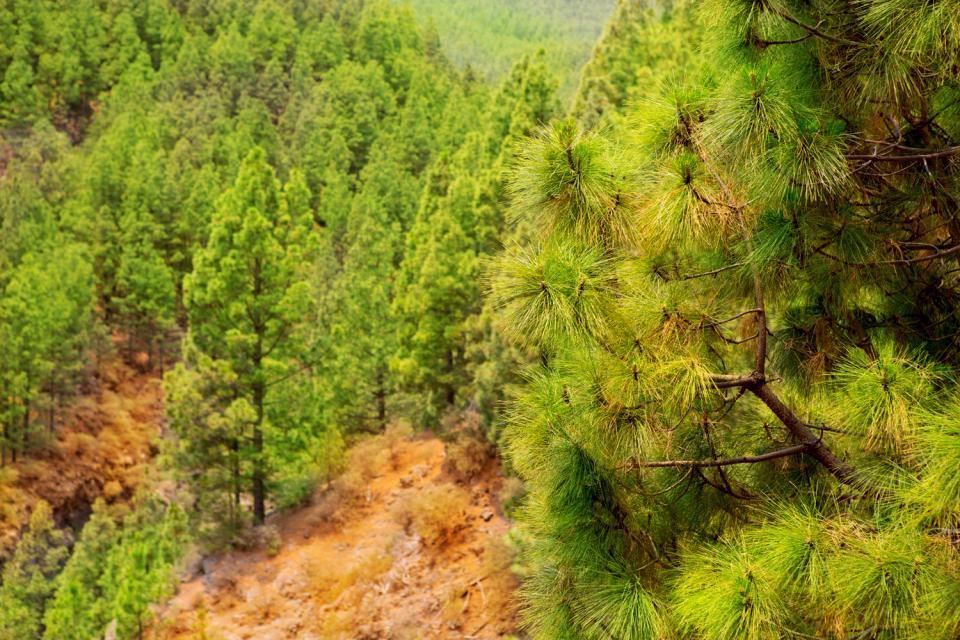 Teneriffa , Der Nationalpark von Corona Forestal , Spanien