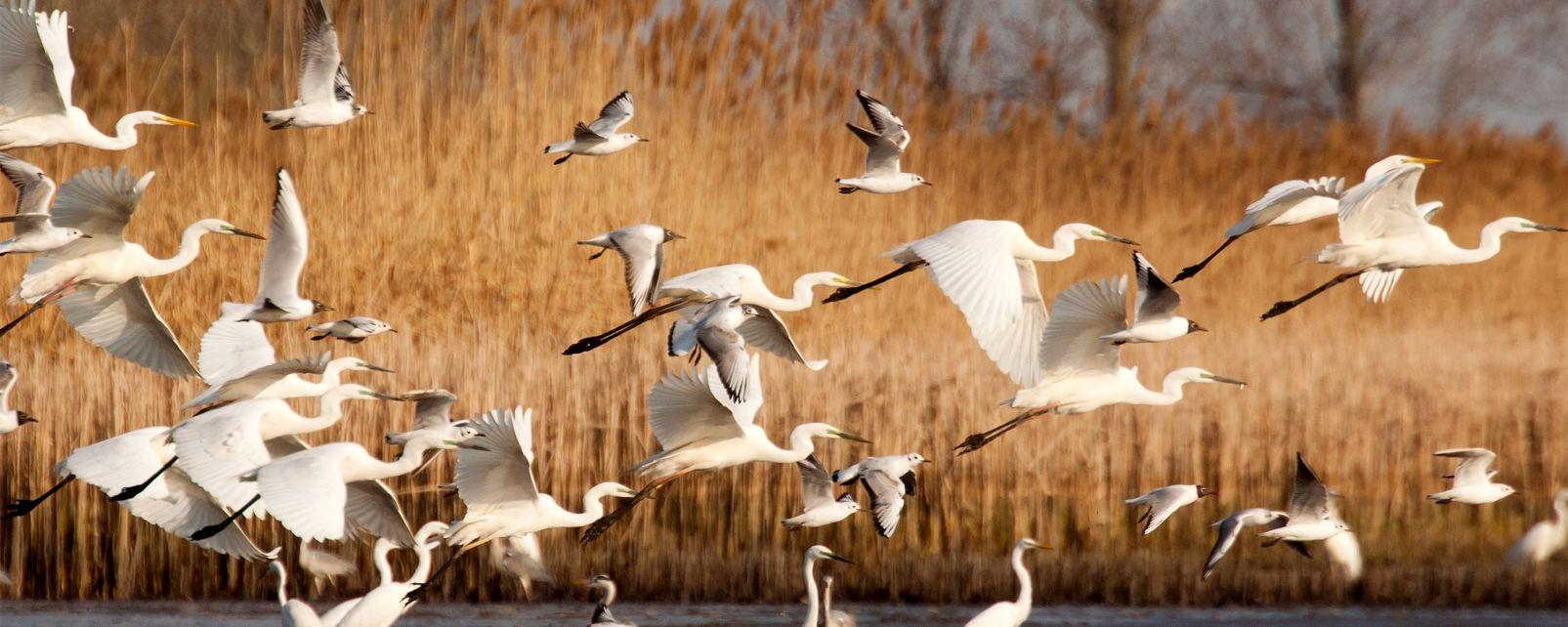 La faune et la flore, oiseau, aigrette, animal, faune, delta, ebre, catalogne, espagne, mer, méditerranée, europe