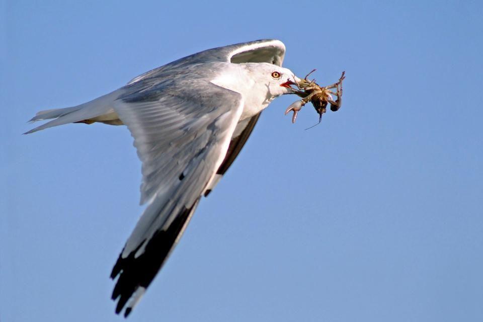 Una gaviota, Las aves del Delta del Ebro, Fauna y flora, Cataluña