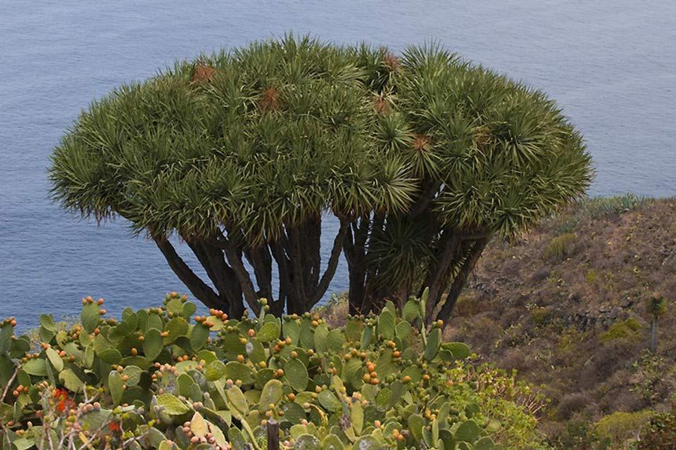 La Palma , El paisaje protegido de El Tablado , Dragos endémicos , España