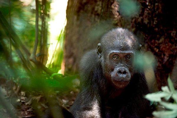 La forêt équatoriale , Cameroun