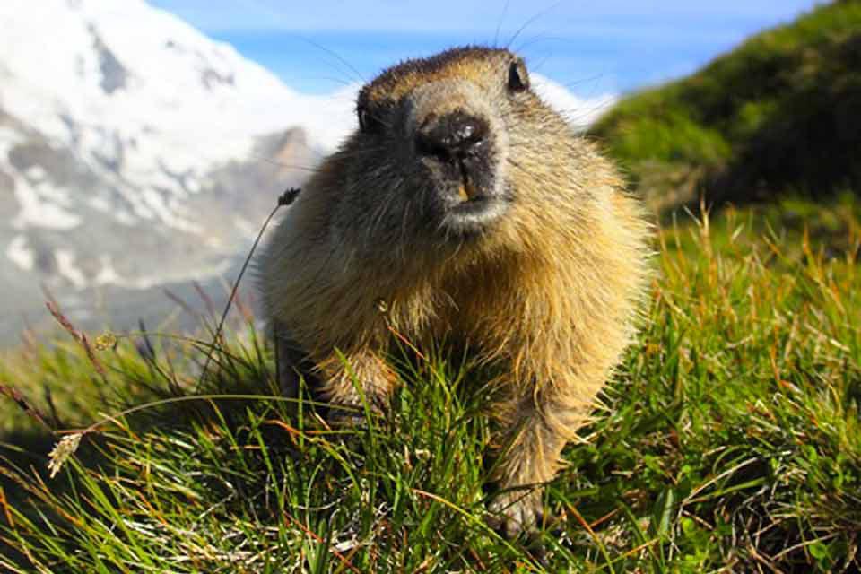 Le Parc Animalier des Pyrénées-La Colline aux Marmottes , La marmotte , France