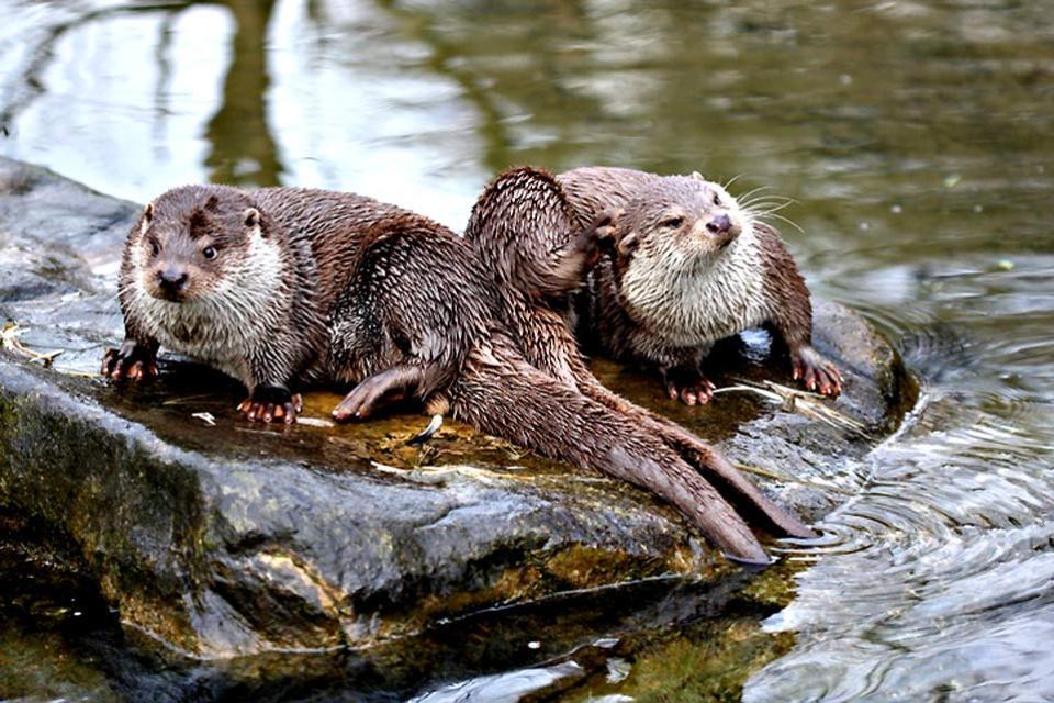 Le Parc Animalier des Pyrénées-La Colline aux Marmottes , La loutre , France