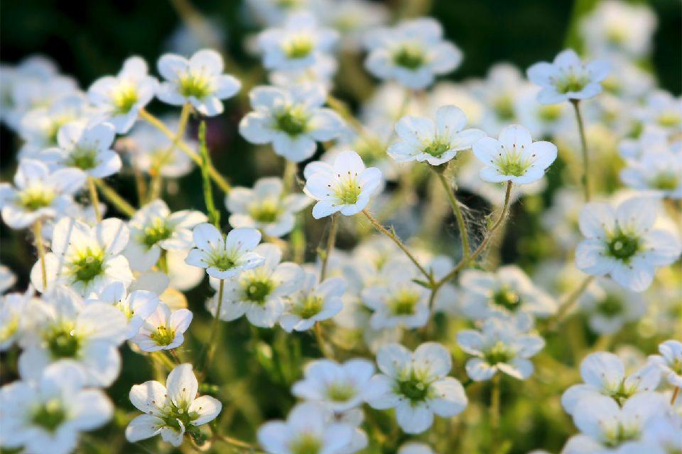 La flore de Gavarnie , La montagne enneigée , France