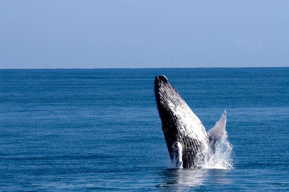 The Samana Peninsula , Whale watching , Dominican Republic
