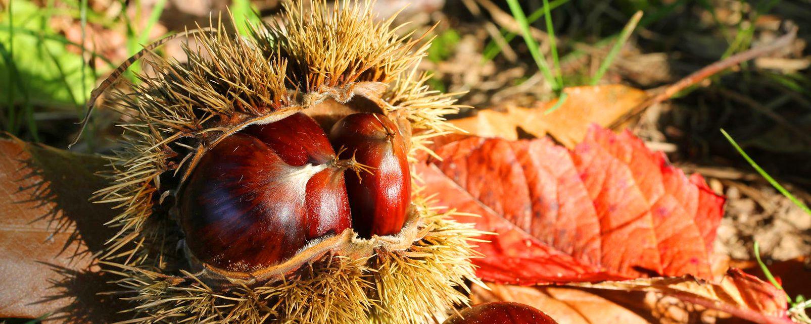 La châtaigne ardéchoise , This is not a sweet chestnut , France