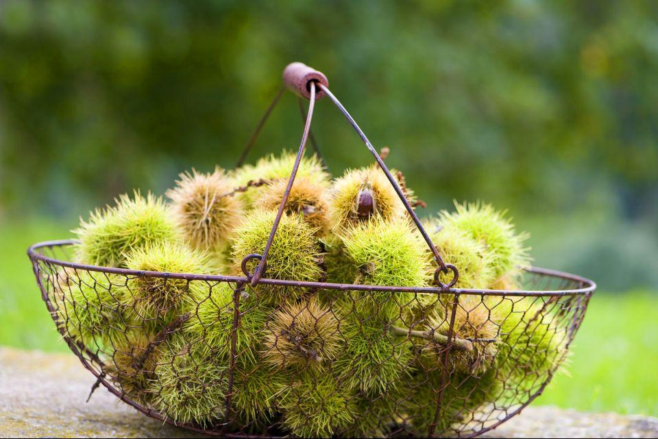 La châtaigne ardéchoise , Sweet chestnuts in their burs , France