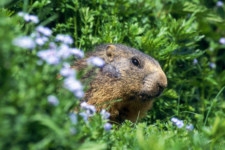 Réserve naturelle nationale des Aiguilles Rouges , A marmot , France