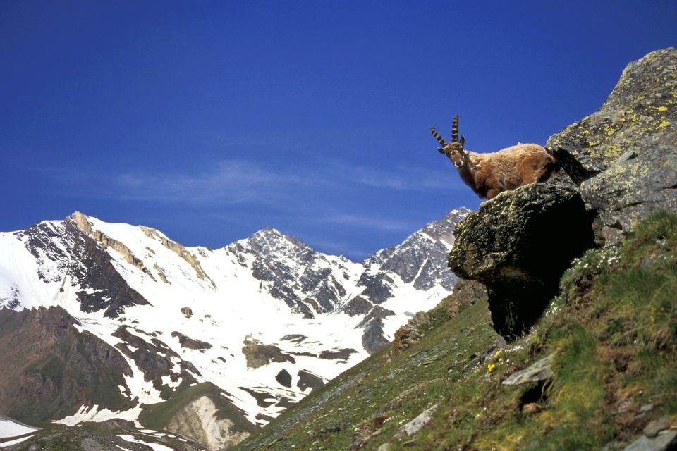 Parc naturel régional du Vercors , The ibex living on the high plateaus , France
