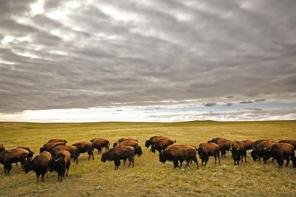 La fauna de Saskatchewan , Canadá