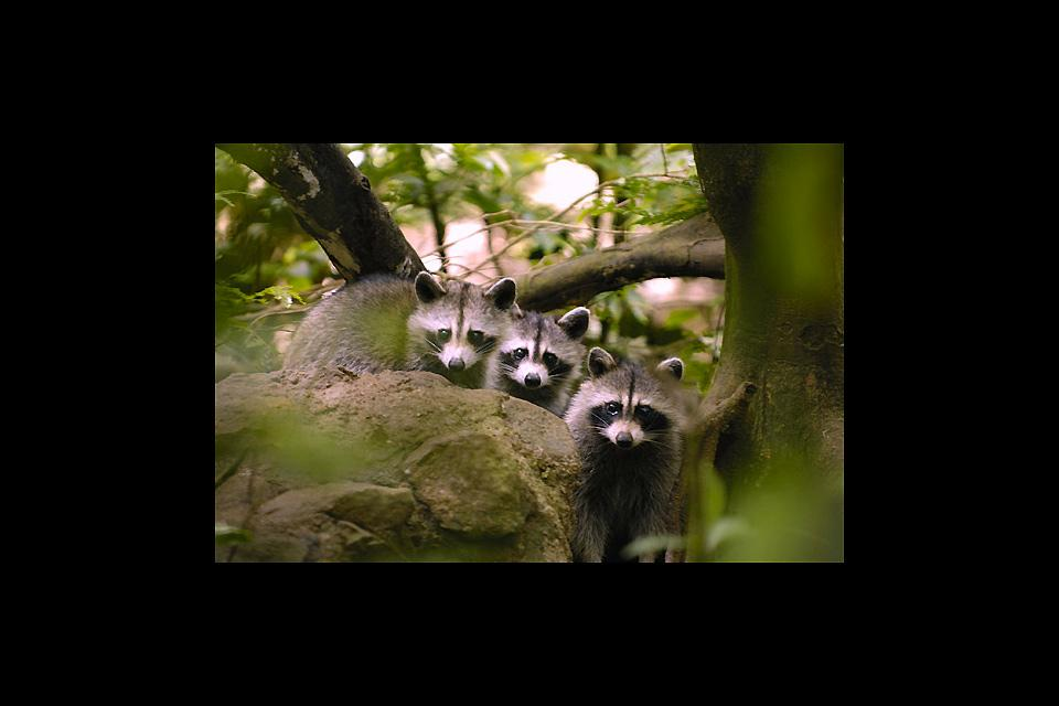 The botanical and zoological gardens of Mamelles , Guadeloupe racoons , Guadelupe
