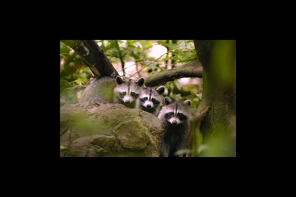 Parc zoologique et botanique des Mamelles , Les ratons-laveurs de Guadeloupe , Guadeloupe