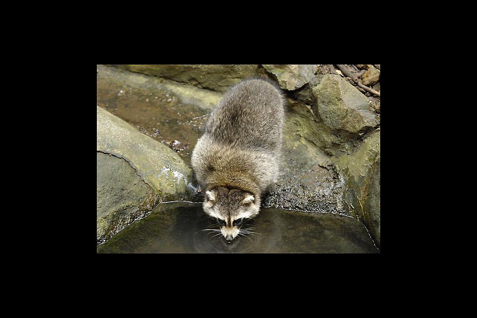 Parc zoologique et botanique des Mamelles , Les racoons , Guadeloupe