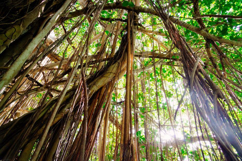 Flamboyants, Mauritius, The trees of Mauritius, The flora, Mauritius