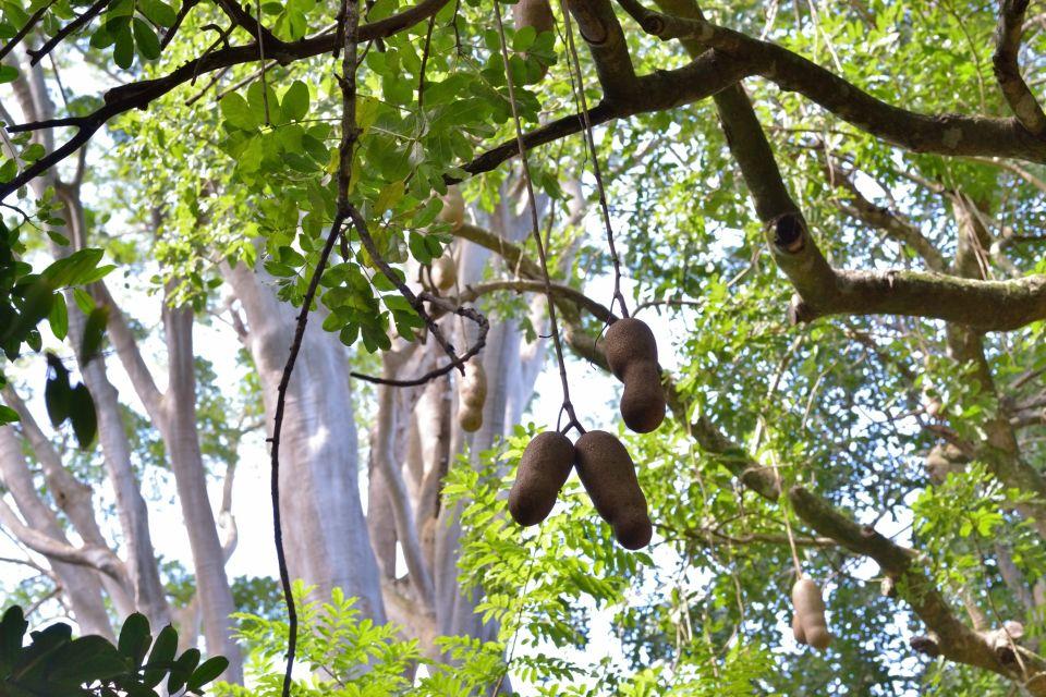 Mauritius' flamboyants, The trees of Mauritius, The flora, Mauritius