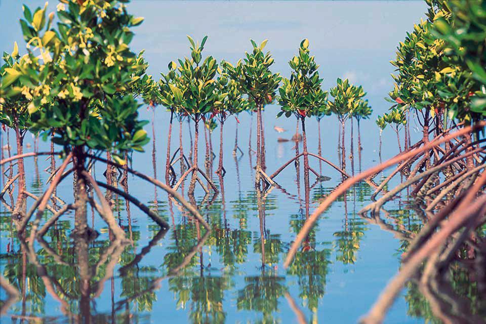The trees of Mauritius , Mangrove, Mauritius , Mauritius