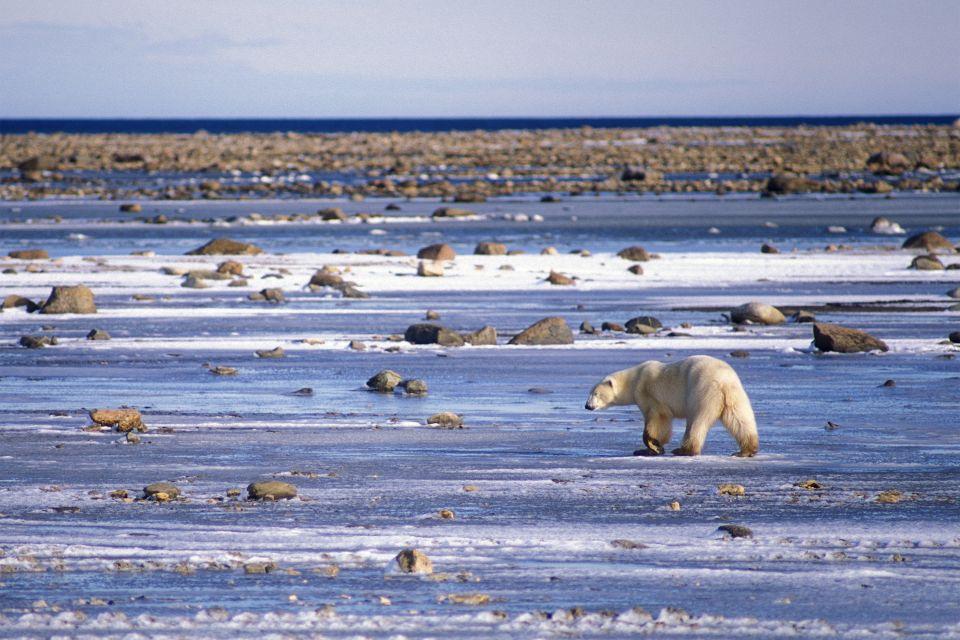 Amérique, Arctique, Canada, Manitoba, Baie, touriste, Tribu, Hudson, ours, mammifère, plantigrade, faune, animal