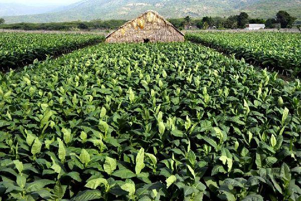Los puros , Las plantaciones , República Dominicana