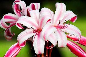 La flore , Seychelles