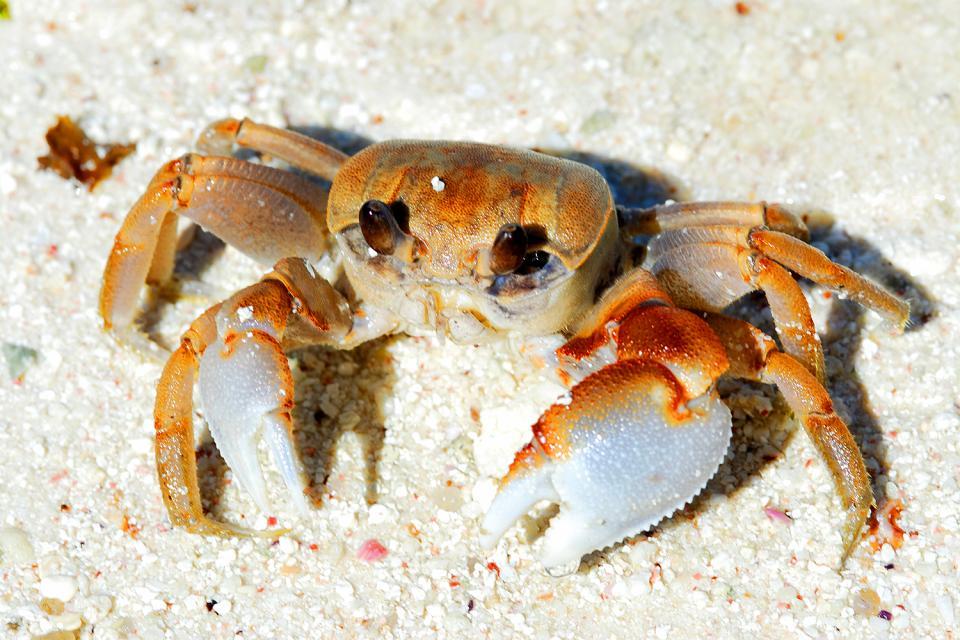La fauna terrestre , Un granchio , Seychelles