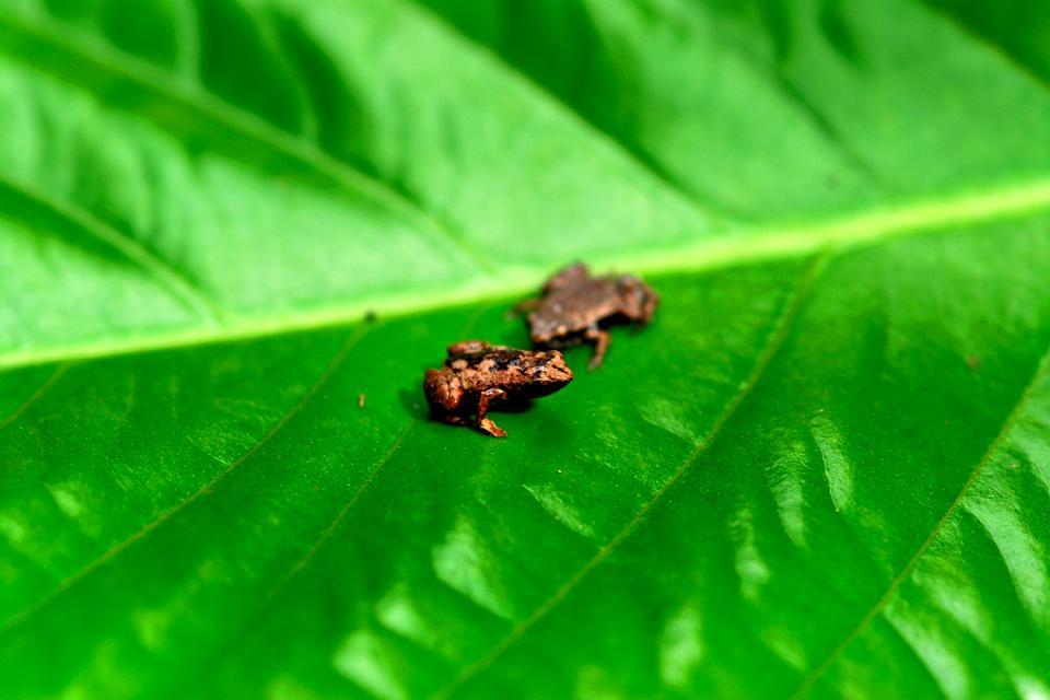 La fauna terrestre , La rana più piccola del mondo , Seychelles