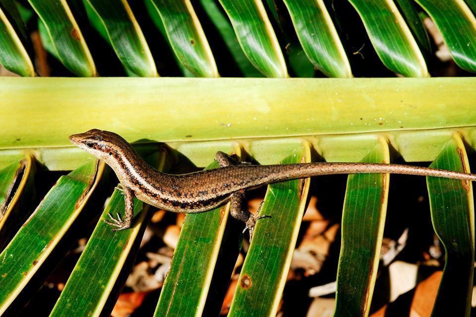 La fauna terrestre , La lucertola , Seychelles
