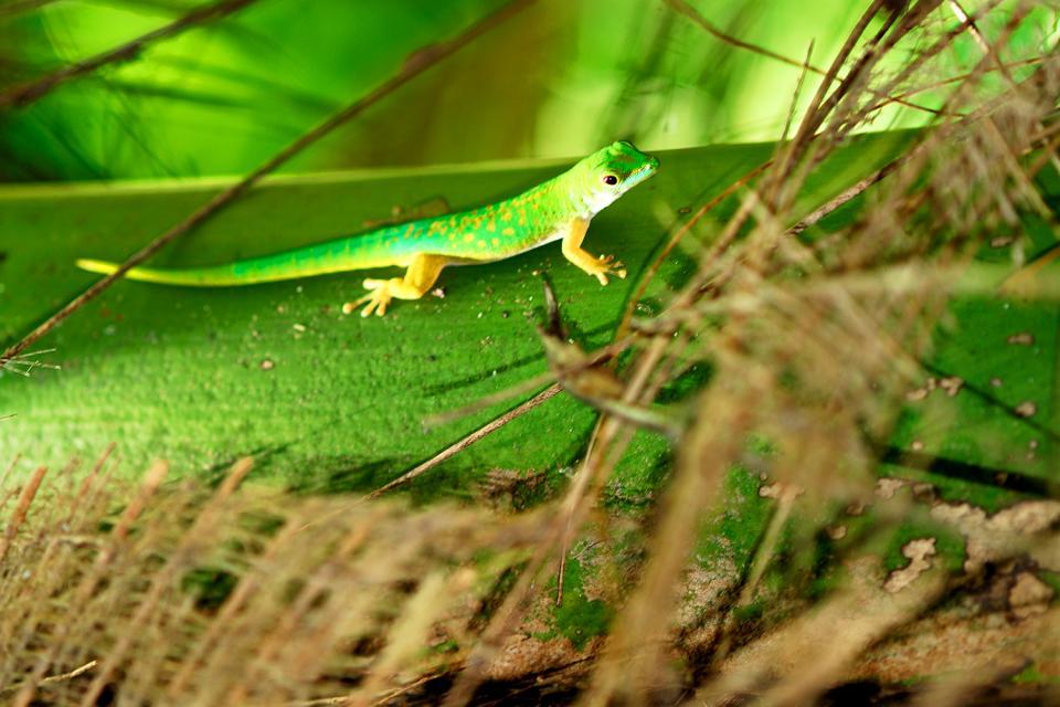 La fauna terrestre , La lucertola verde , Seychelles